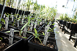 October 12, 2007, Raleigh, NC.. The sprouts of newly started black cottonwood trees..Greenhouses at the Department of Forest Biotechnology at North Carolina State University are being used to grow trees with lower lignin levels to be better used for future bio-fuel technologies.