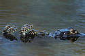 Caiman Mother Carrying Her Young; Pantanal, Brazil
