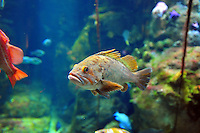 Dec. 30, 2009 - San Francisco, California, USA - A large variety of fish and other creatures are on display in the huge aquarium at the California California Academy of Sciences Natural History Museum in San Francisco Wednesday December 30, 2009.  (Photo by Alan Greth)