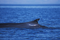 Fin Whale (Balaenoptera physalus) surfacing (note the notches in dorsal fin) in the upper Gulf of California (Sea of Cortez, Pacific Ocean), Mexico.