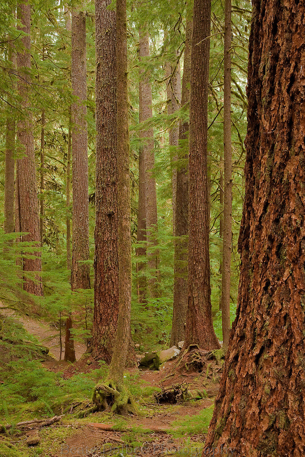 Trees along the trail at the Sol Duc, Olympic National Park, Washington State