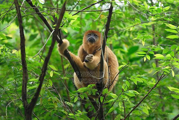 .Black-and-Gold Howler Monkey (Alouatta caraya), adult, Brazil