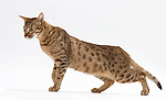 Ocicat - Male, 2 years old, Chocolate Colour