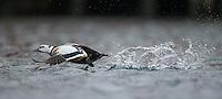 Steller's eider, Polysticta stelleri, Batsfiord, Norway, winter
