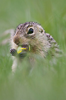 Eye-level view of a Thirteen-lined Ground Squirrel