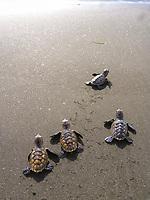 hawksbill sea turtle hatchlings, Eretmochelys imbricata, critically endangered species, crawling toward ocean, Saint Lucia, Lesser Antilles aka Caribbees, Caribean Sea, Atlantic Ocean