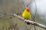 Portrait of a male Western Tanager perched in a tree in Wyoming.