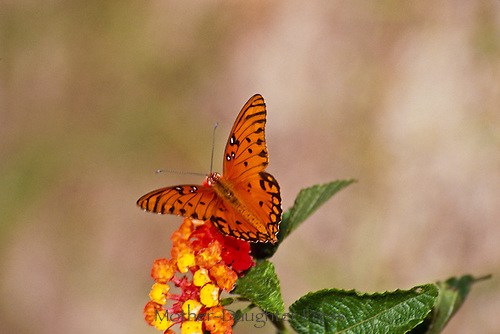 Orange Gulf Fritillary or passion butterfly, Agraulis vanillae, on lantana flower