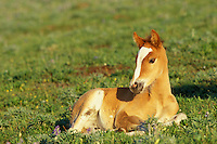 Wild Horse colt rests for a moment in the high alpine meadows of the Pyror Mountains, Montana.  Summer..(Equus caballus)