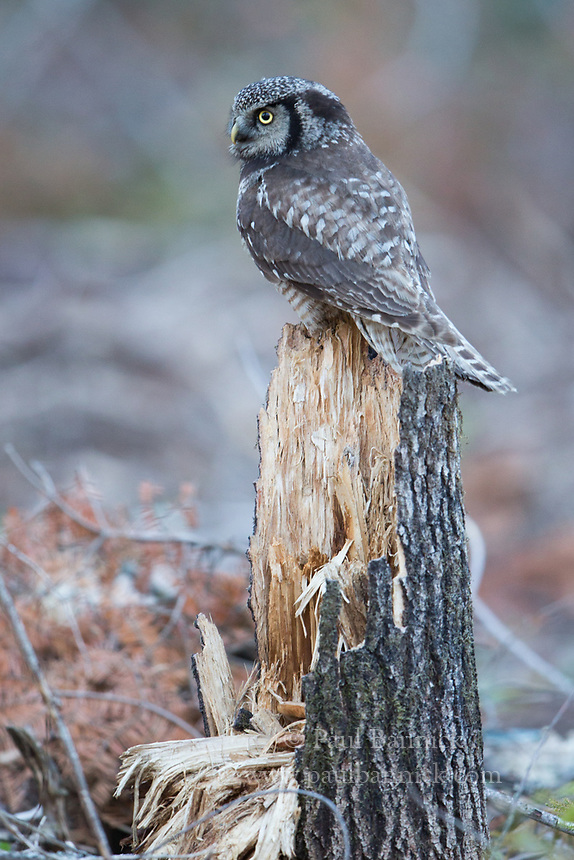 Northern Hawk Owls nest in burns, clearcuts and muskegs where it can find open hunting areas, tall hunting perches and broken top trees or old woodpecker cavities to nest in.