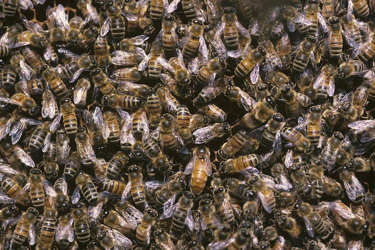 Honey Bees - Apis mellifera