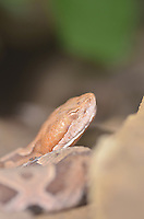 Northern copperhead snake.