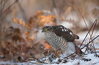 Sparrowhawk, female, at goldfinch kill on woodland floor, Accipiter nissus, Bulgaria