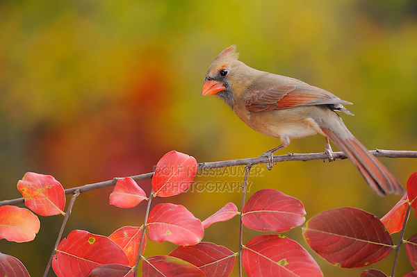 Northern Cardinal (Cardinalis cardinalis), female perched on fall color branch of Crape myrtle (Lagerstroemia indica), New Braunfels, Hill Country, Central Texas, USA