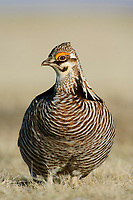 Male greater Prairie-Chicken (Tympanachus cupido) on lek. Ft. Pierre National Grassland, South Dakota. April.