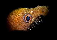 mottled conger moray, or viper moray, Enchelycore nigricans, Bonaire, ABC Islands, Netherlands Antilles, Caribbean Sea, Atlantic Ocean