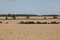 Winter wheat in Rutland<br /> ©Tim Scrivener Photographer 07850 303986<br />      ....Covering Agriculture In The UK....