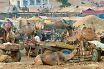 Camels as livestock at the Pushkar Fair, India.