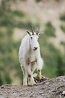 Mountain Goat,Oreamnos americanus, Glacier National Park, Montana, USA, July 2007