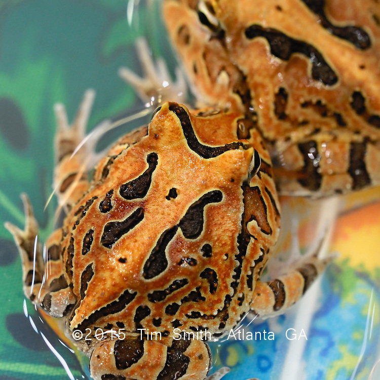 Pacman frogs, Leptodactylidae Ceratophrys, are a 'horned frog' in the family Neobatrachia, 1 of 3 families of frogs and toads.  They are commonly sold as pets growing as large as six inches across, often living out their lives in medium aquariums contentedly eating small insects and feeder prey.
