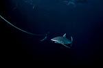 Silky Shark on reef at night, Carcharhinus falciformis, Gardens of the Queen, Cuba