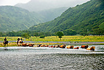 Herding cattle across the Pasagshak River to new pasture. Pasagshak Ranch on Kodiak Island,  Southwest Alaska