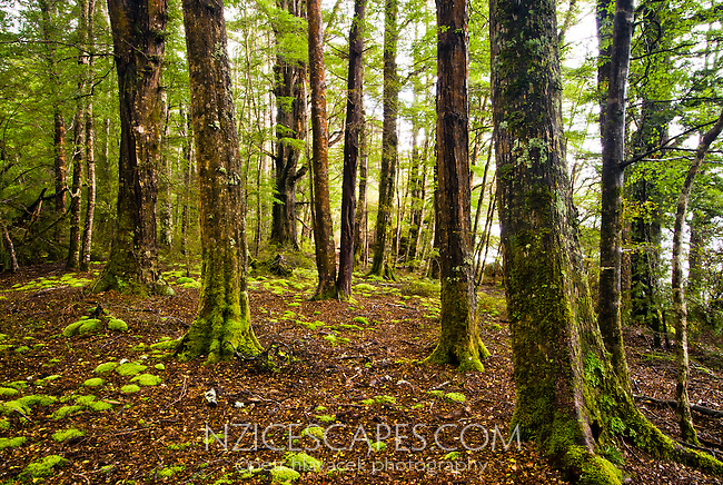 Native beech forest near Te Anau - Fiordland, New Zealand