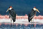 Marabou storks (Leptoptilos crumeniferus) in Lake Nakuru
