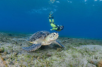 green sea turtle, Chelonia mydas, and woman snorkeler, endangered species, Wadi Gimal National Park, Marsa Alam, Egypt, Red Sea, Indian Ocean, MR