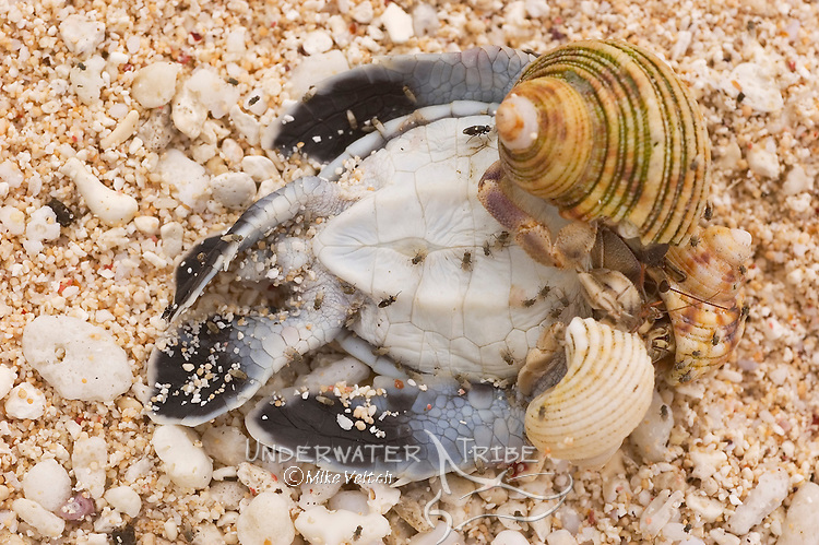 Hermit Crabs, and flies devour a dead Green Turtle hatchling, Chelonia midas, Gielop Island, Ulithi Atoll, Yap, Micronesia, Pacific Ocean