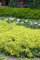 Alchemilla mollis in bloom with white Cleome, Buxus boxwood and Hedera helix English ivy climbing vine on house