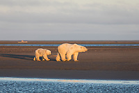 Polar bear sow and cub walk along the shore of a barrier island in the Beaufort Sea, Arctic National Wildlife Refuge, Alaska.