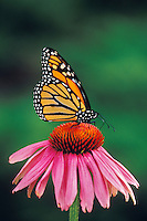 Monarch butterfly (Danaus plexippus) on purple coneflower.