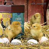 Xavier, EASTER, OSTERN, PASCUA, photos+++++,SPCHCHICKS32,#e#, EVERYDAY ,chicken
