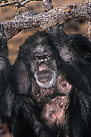 616509055 portrait of a wildlife rescue chimpanzee pan troglodytes- animal came from a medical research facility - species is endangered in its habitat distribution in central africa