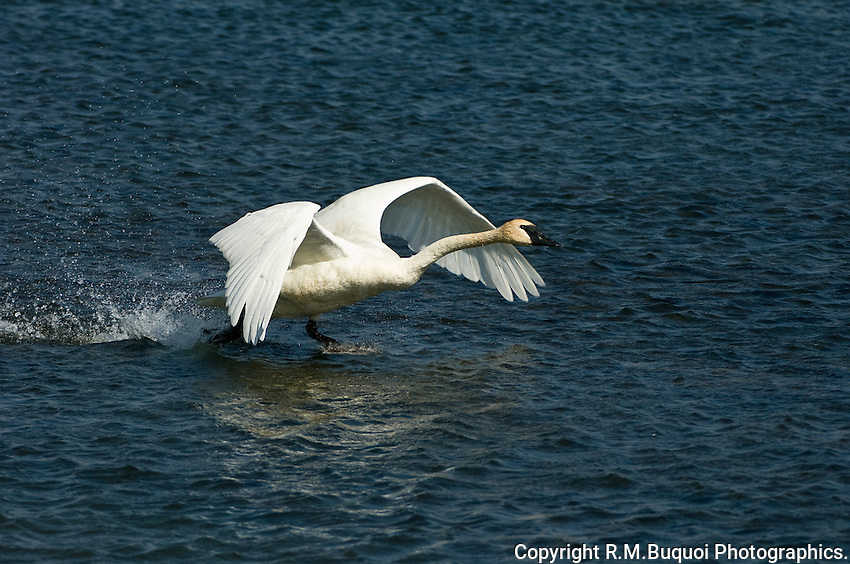 Trumpeter Swan taking off, Jackson Hole, Wyoming