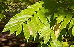 Caucasian Wing Nut tree, Pterocarya fraxinifolia, National arboretum, Westonbirt arboretum, Gloucestershire, England, UK