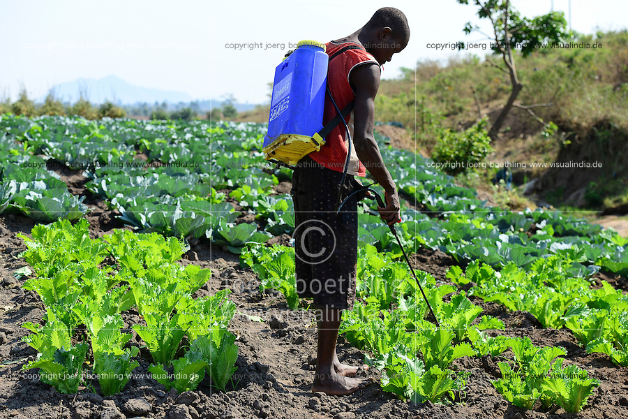 MALAWI, Thyolo, village Samuti, farmer sprays with mobile canister chemical pesticides in salad field / MALAWI, Thyolo, Dorf Samuti, bewaessertes Salat Feld, Farmer versprueht Pestizide mit Kanister