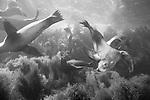 Coronado Islands, Baja California, Mexico; California Sea Lions (Zalophus californianus) swimming in the shallow water near the rocky shoreline