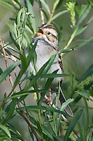 Clay-colored Sparrow singing from a tree