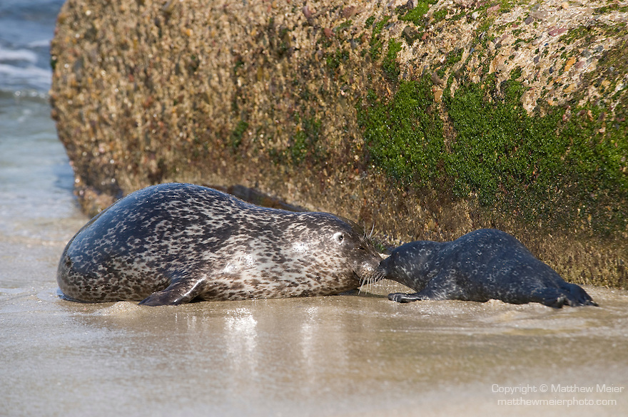 Children's Pool, La Jolla, California; a newborn Harbor Seal (Phoca vitulina) pup bonds with it's mother by touching noses together on a sandy beach