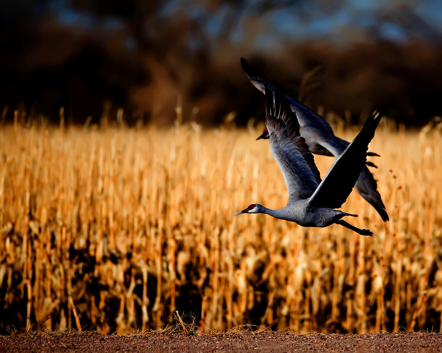 With the grace born of 10 million years of evolution, a sandhill crane lands in a cornfield. Bosque del Apache National Wildlife Refuge in southern Socorro County, New Mexico.