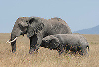 African Elephant mother and calf, Loxodonta africana, in Serengeti National Park, Tanzania