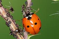 """Siebenpunkt-Marienkäfer, Käfer in einer Blattlaus-Kolonie, frisst Blattläuse, Ameise verteidigt """"ihre Läuse"""", Siebenpunkt - Marienkäfer, 7-Punkt, Coccinella septempunctata, seven-spot ladybird, sevenspot ladybird, 7-spot ladybird"""