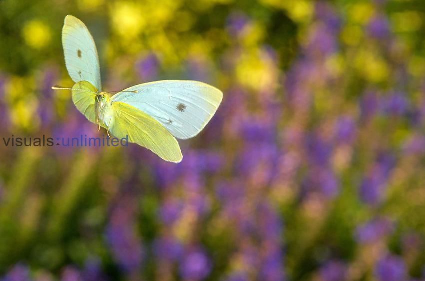 Cabbage Butterfly (Pieris rapae) in flight over Lavender Fields, France.