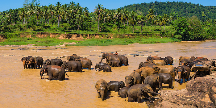 Pinnawala Elephant Orphanage, panoramic photo of elephants in the Maha Oya River near Kegalle in the Hill Country of Sri Lanka, Asia. This is a panoramic photo of elephants at Pinnawala Elephant Orphanage in the Maha Oya River near Kegalle in the Hill Country of Sri Lanka, Asia.