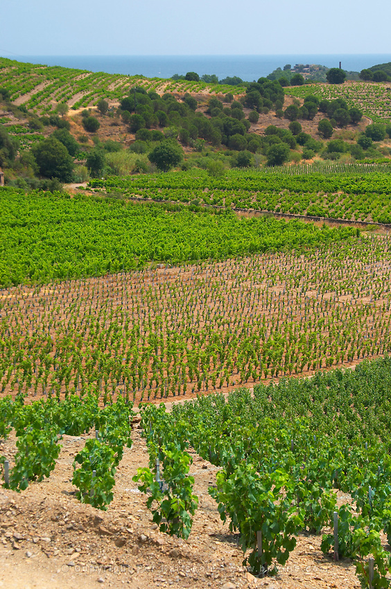 Domaine Coume del Mas. Banyuls-sur-Mer. Roussillon. Vines trained in Gobelet pruning. Vine leaves. Vineyards in early summer sunshine with vines in gobelet style. France. Europe. Vineyard.