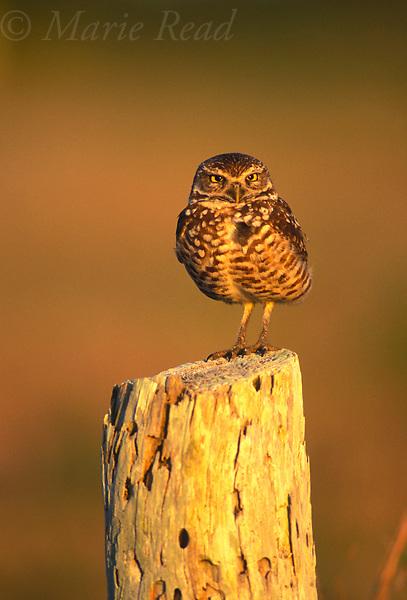 Burrowing Owl (Speotyta cunicularia), Florida, USA<br /> Slide # B70-24
