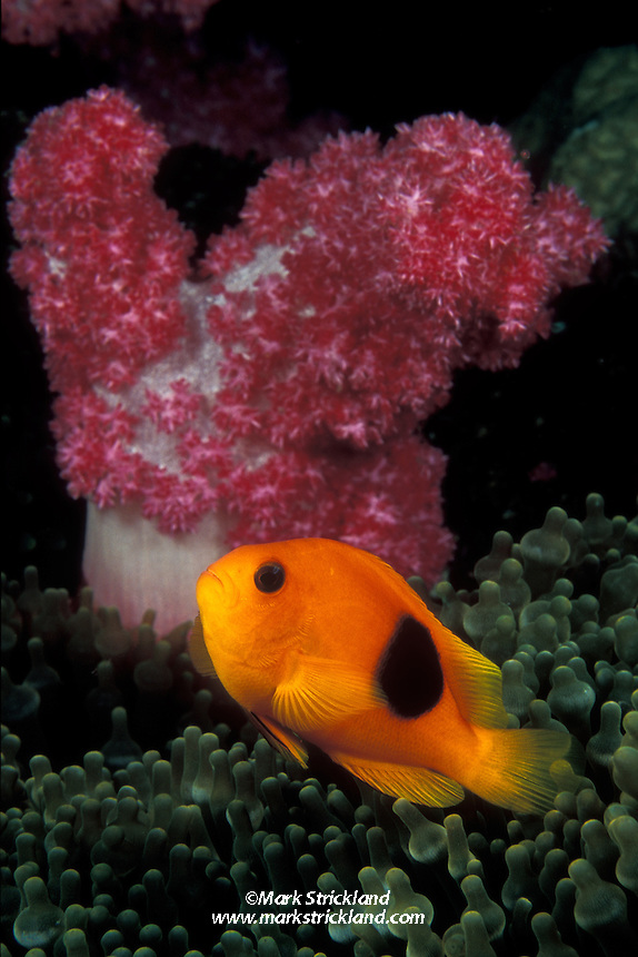 A Red Saddleback Anemonefish, Amphiprion ephippium, hovers near a soft coral while standing guard over its host anemone, Entacmaea quadricolor. Richelieu Rock, Andaman Sea, Thailand, Indian Ocean