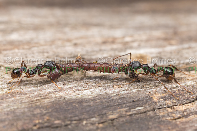 Two Spine-waisted Ant (Aphaenogaster picea) workers carry scavenged food, an earthworm, back to their nest.